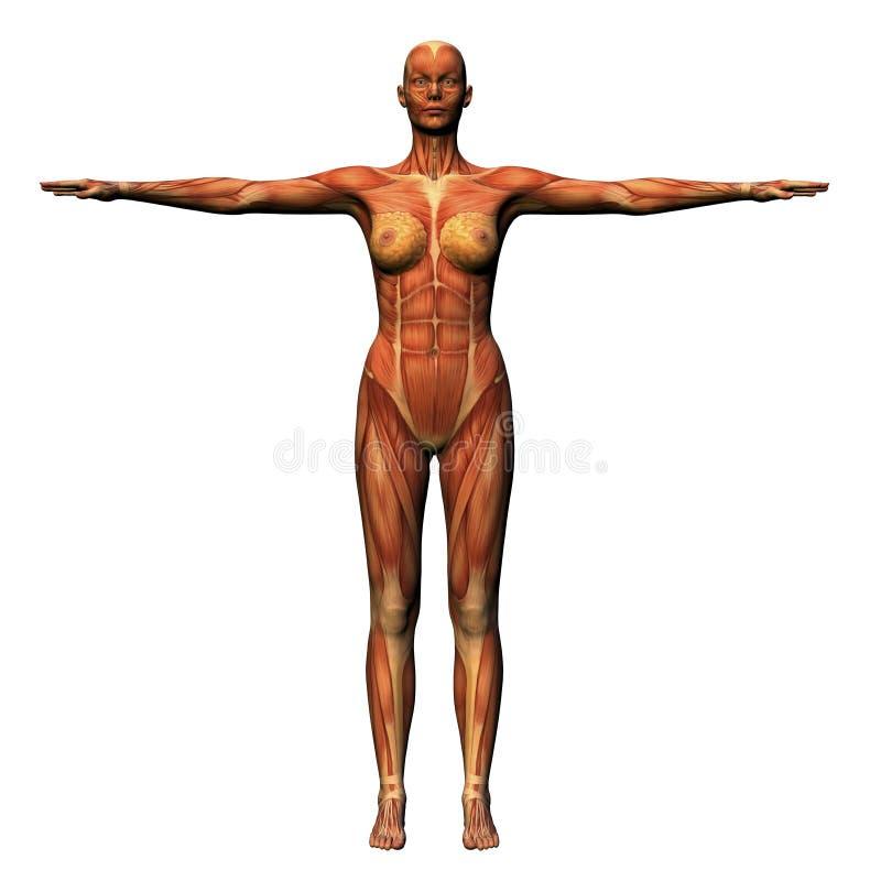 Anatomie femelle - musculature illustration de vecteur