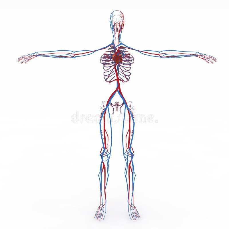 Anatomie femelle précise illustration de vecteur