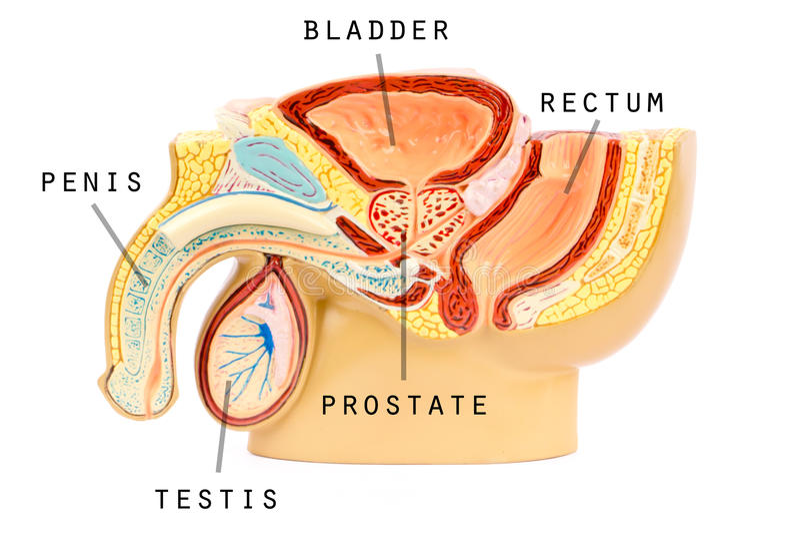 Anatomie génitale masculine illustration stock