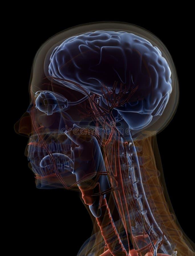 Anatomie-Gehirn stock abbildung. Illustration von augen - 29068938