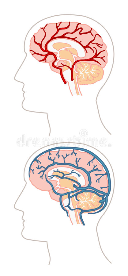Anatomie - Gehirn 3 lizenzfreie abbildung