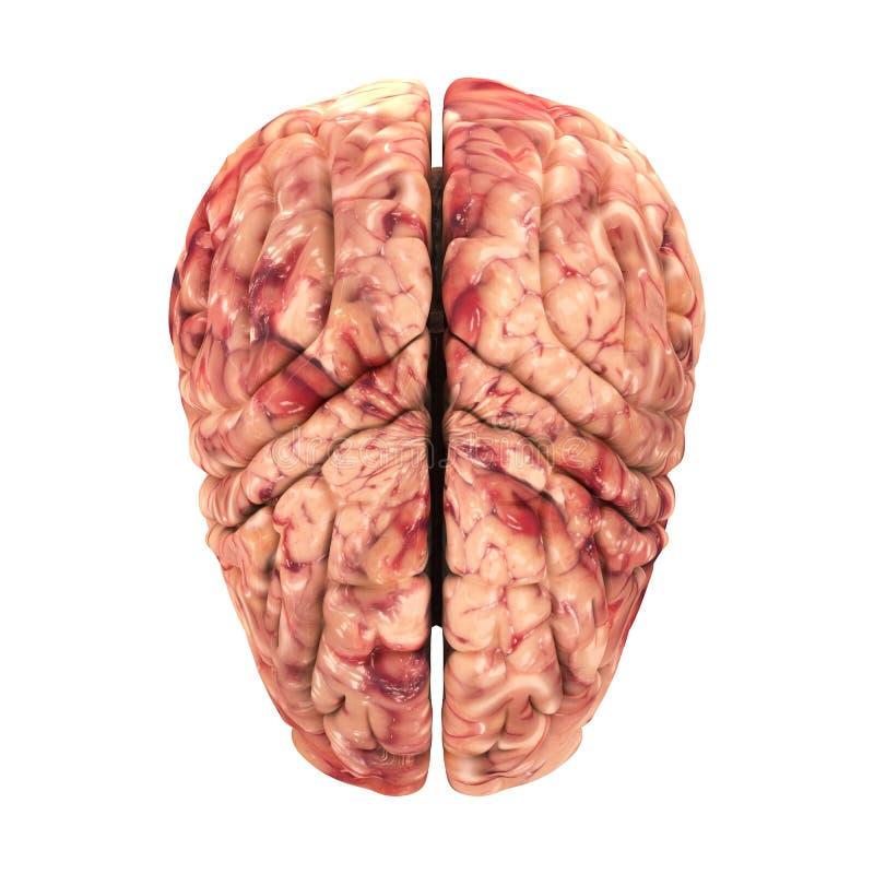 Anatomie-Gehirn - Draufsicht Stock Abbildung - Illustration von ...