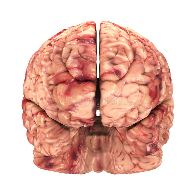 Anatomie-Gehirn - Front View Isolated Stock Abbildung - Illustration ...