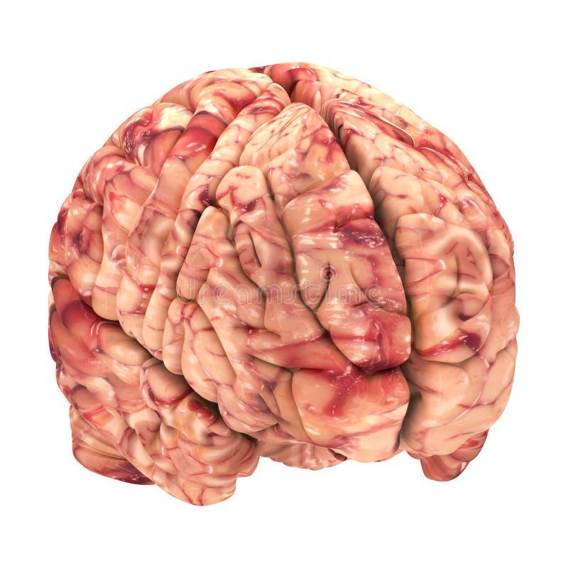 Anatomie-Gehirn - ISO Sehen Lokalisiert An Stock Abbildung ...
