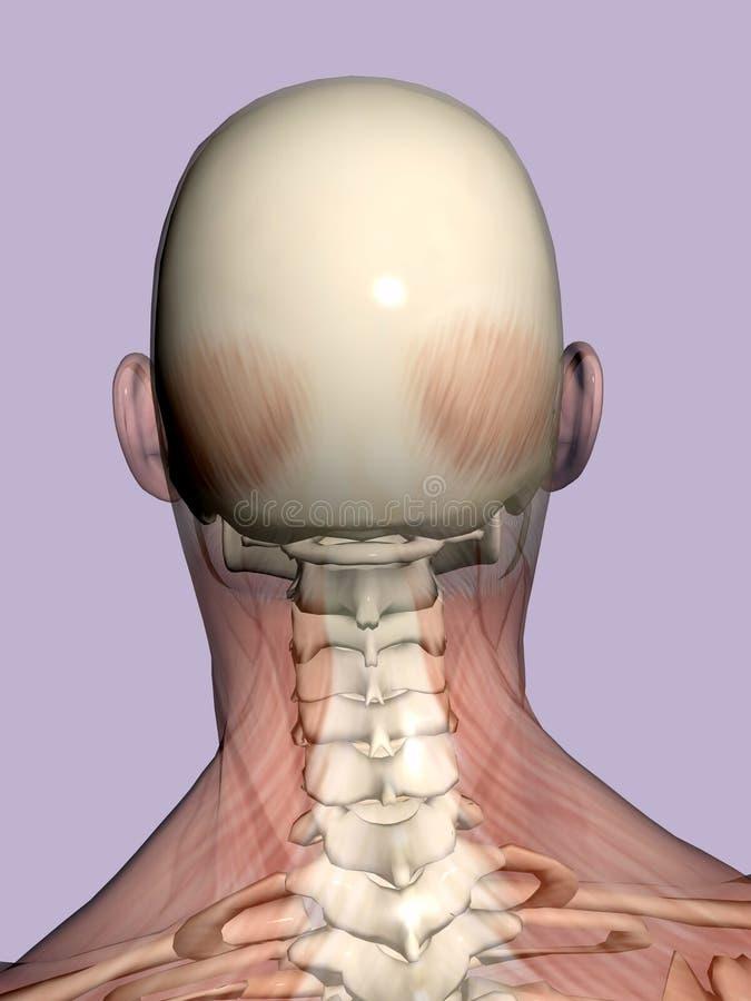 Anatomie hoofd, transparant met skelet. royalty-vrije illustratie