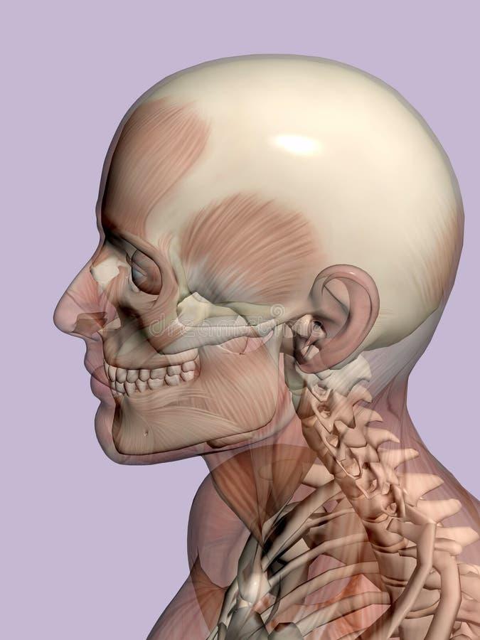 Anatomie hoofd, transparant met skelet. vector illustratie