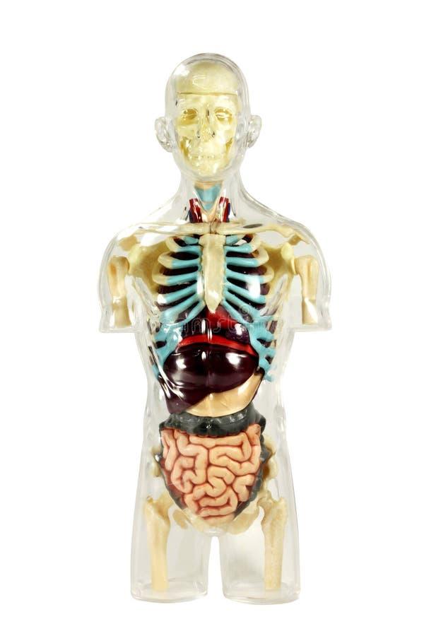 Anatomie humaine photos stock