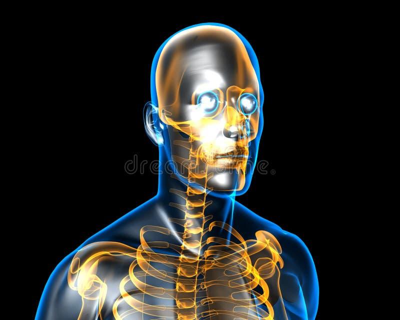 Anatomie humaine illustration libre de droits