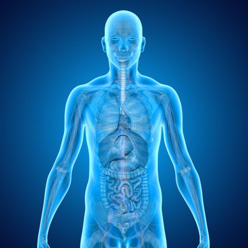 Download Anatomie humaine illustration stock. Illustration du circulatoire - 45367393