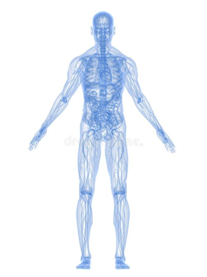 Anatomie humaine illustration stock