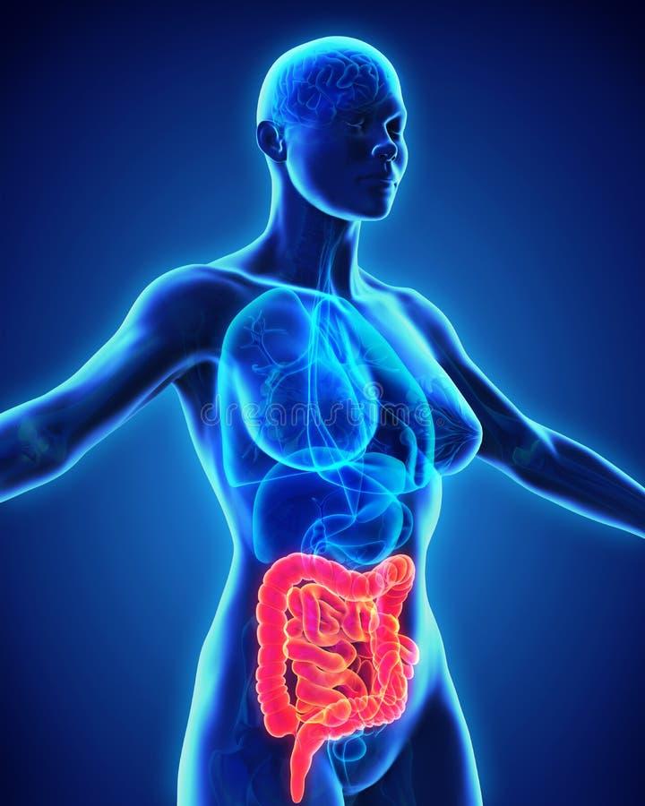 Anatomie humaine d'intestin illustration libre de droits