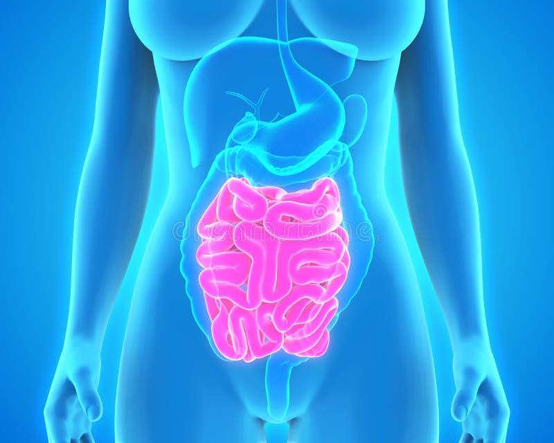 Anatomie humaine d'intestin grêle illustration libre de droits