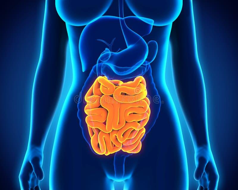 Anatomie humaine d'intestin grêle illustration de vecteur