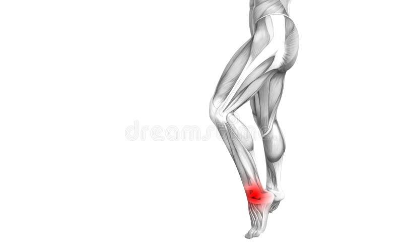 Anatomie humaine de cheville avec l'inflammation d'un rouge ardent de tache ou douleurs articulaires articulaires illustration stock