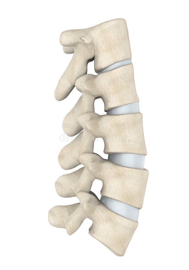 Anatomie humaine de colonne lombaire d'isolement illustration libre de droits