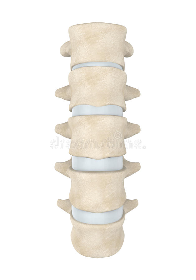 Anatomie humaine de colonne lombaire d'isolement illustration de vecteur