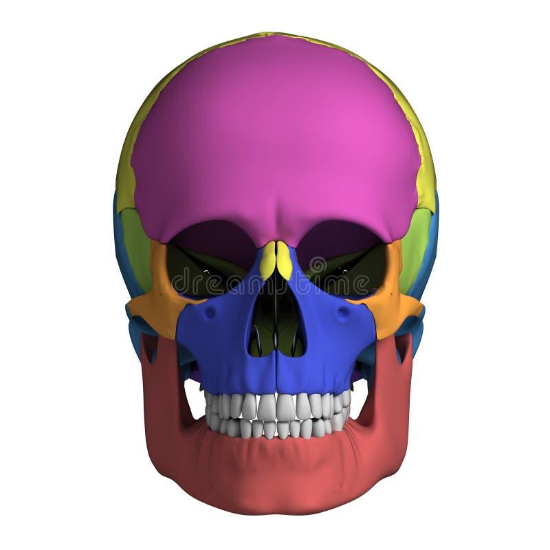 Anatomie humaine de crâne illustration de vecteur