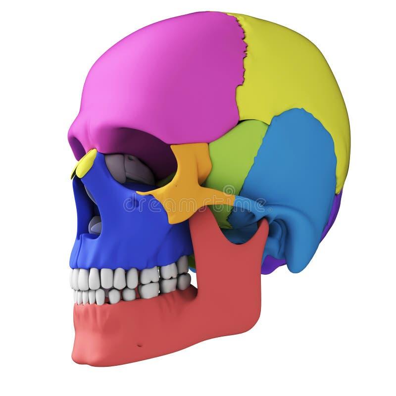 Anatomie humaine de crâne illustration stock