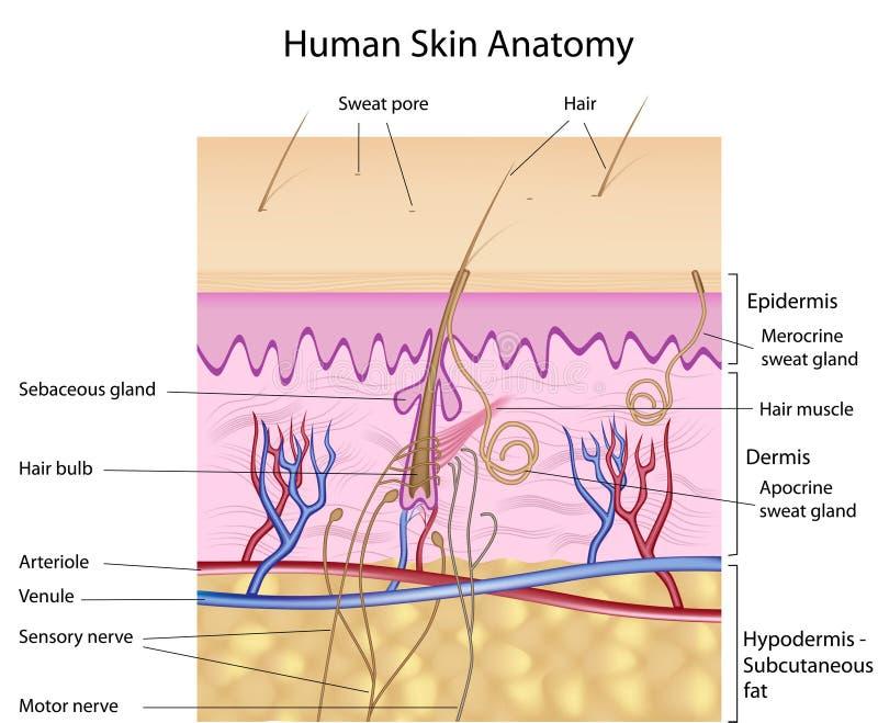 Anatomie humaine de peau, étiquetée version illustration de vecteur