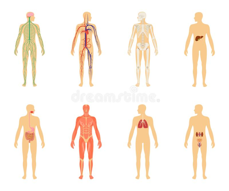 Anatomie humaine Ensemble d'illustration de vecteur d'isolement sur le fond blanc illustration de vecteur