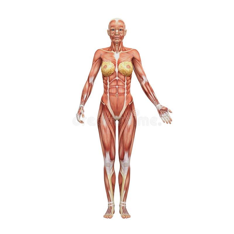 Anatomie humaine femelle sportive et muscles illustration libre de droits