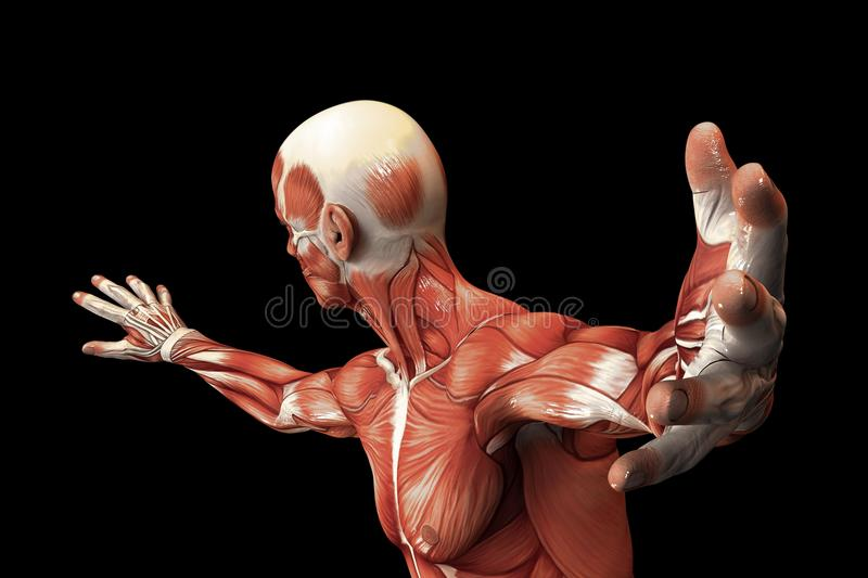 Anatomie humaine - muscles masculins illustration stock
