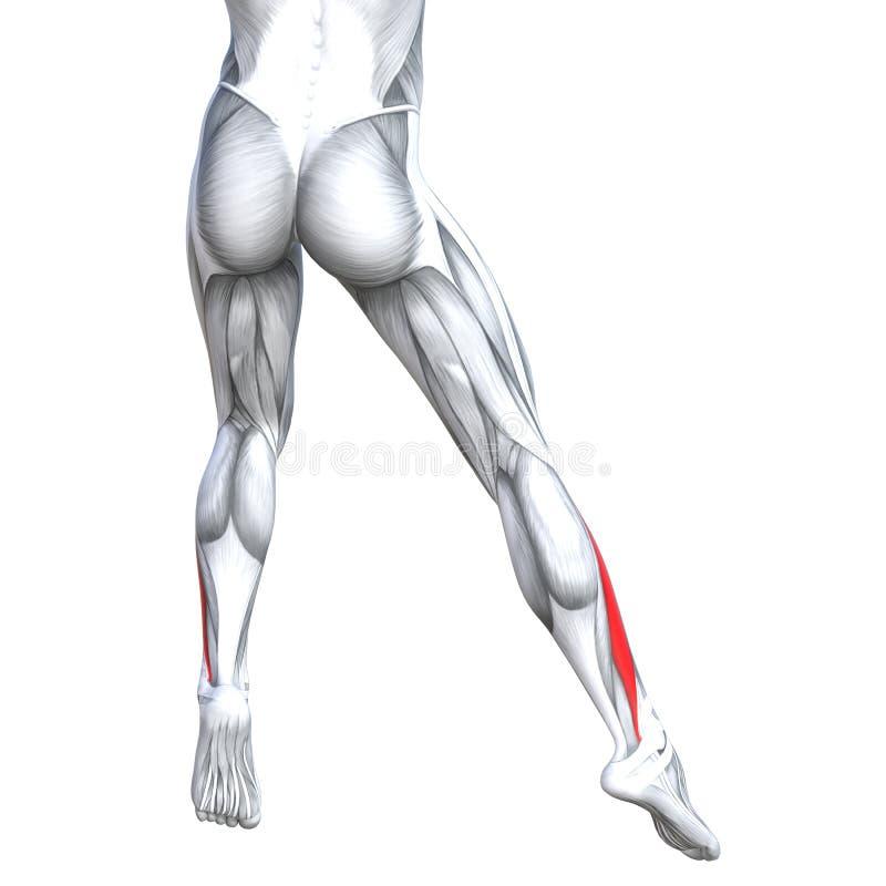 Anatomie inférieure d'humain de jambe de dos d'illustration du concept 3D illustration stock