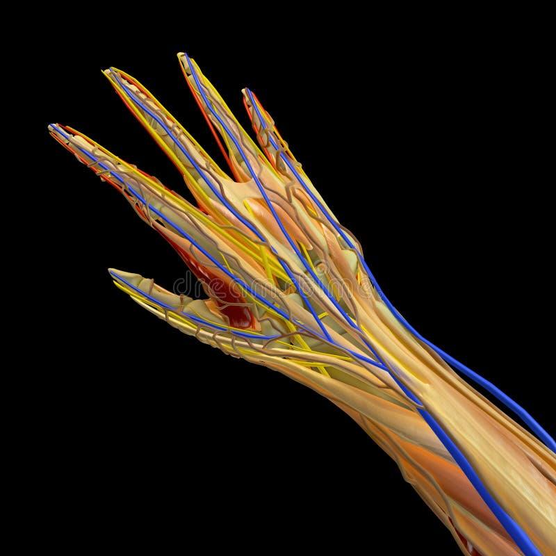 Anatomie interne d'une main, section 3d Muscles de veines et os d'une main illustration de vecteur