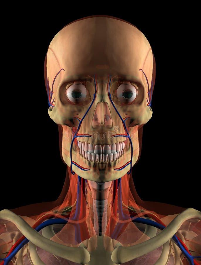 Gemütlich Anatomie Des Gesichts Und Des Kopfes Fotos - Anatomie Von ...