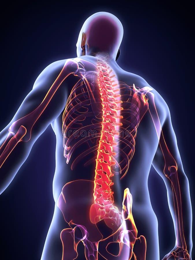 Anatomie masculine humaine d'épine illustration libre de droits