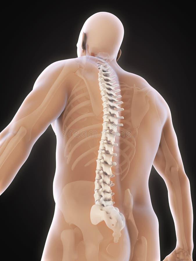 Anatomie masculine humaine d'épine illustration de vecteur