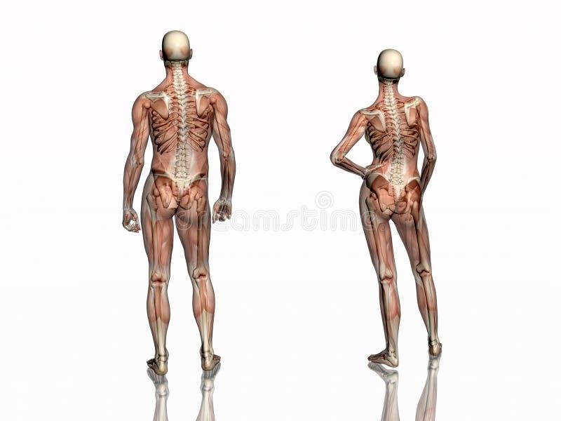 Anatomie, muscles transparant avec le squelette. illustration de vecteur