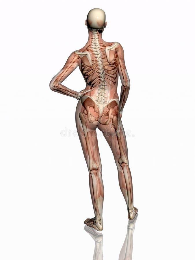 Anatomie, muscles transparant avec le squelette. illustration libre de droits