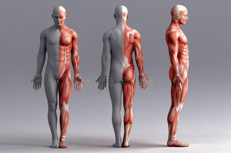 Anatomie, Muskeln lizenzfreie abbildung