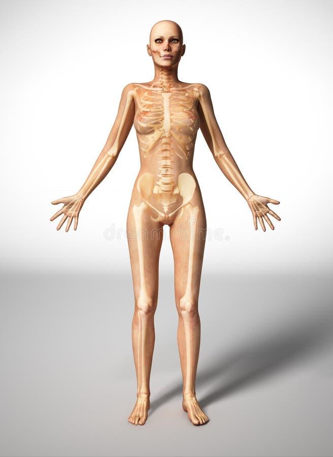 Anatomie, naakt vrouwenlichaam, met beenskelet. stock illustratie