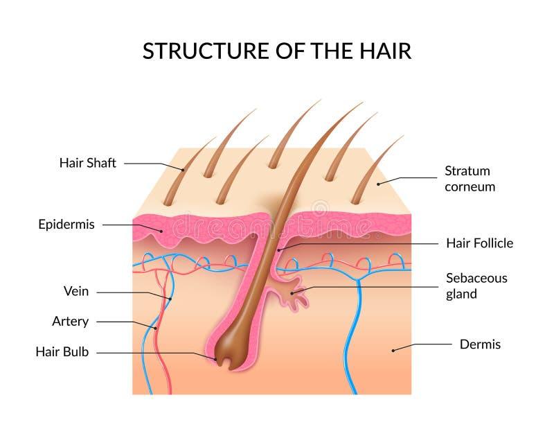 Anatomie réaliste Infographics de cheveux illustration libre de droits
