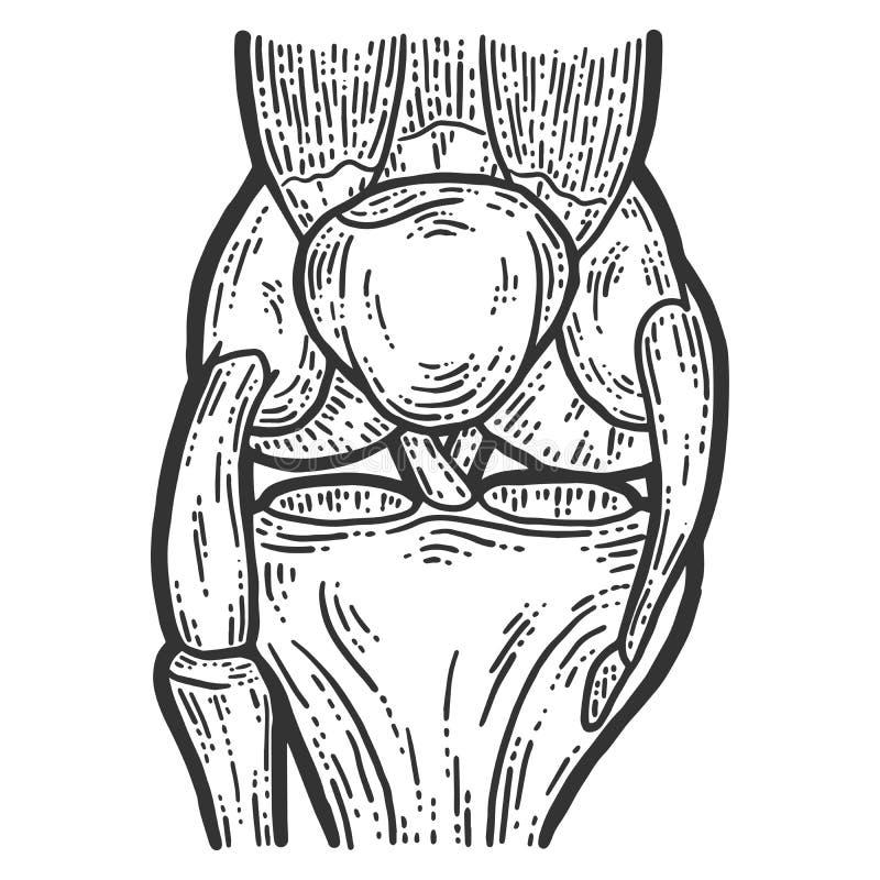 Anatomie Schets van de kniegewricht krasbord imitatie van de bouwknie stock illustratie