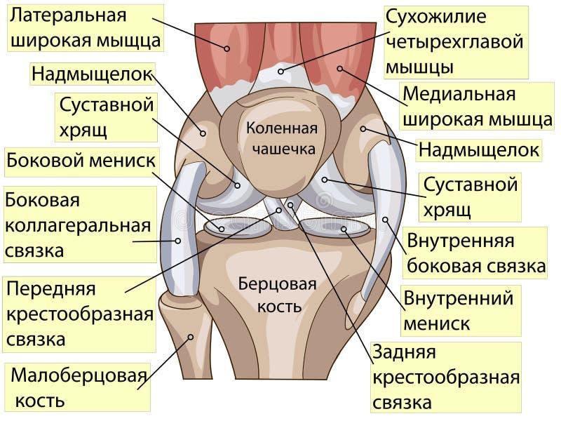Anatomie Strukturkniegelenkvektor Vektor Abbildung - Illustration ...
