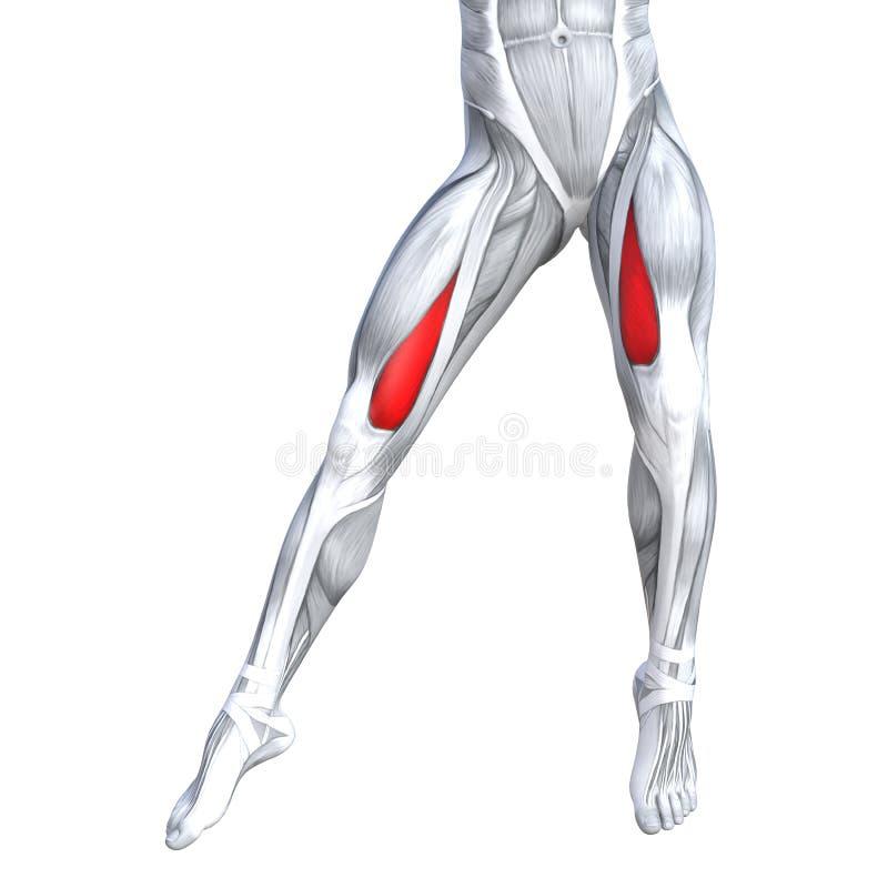 Anatomie supérieure d'humain de jambe d'avant d'illustration du concept 3D illustration libre de droits