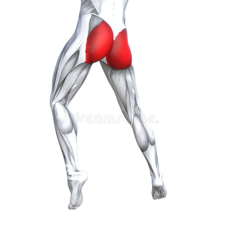 anatomie supérieure d'humain de jambe de dos de l'illustration 3D illustration de vecteur