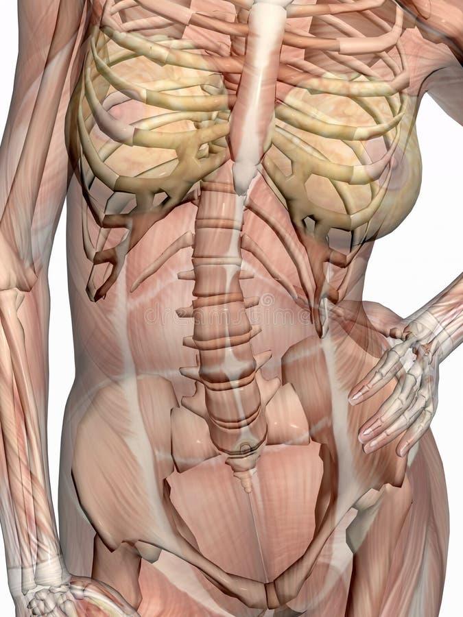 Anatomie, transparant Muskeln mit dem Skelett. vektor abbildung