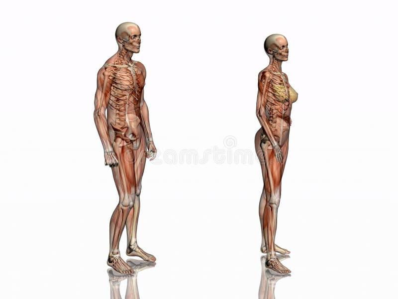 Anatomie, transparant spieren met skelet. vector illustratie