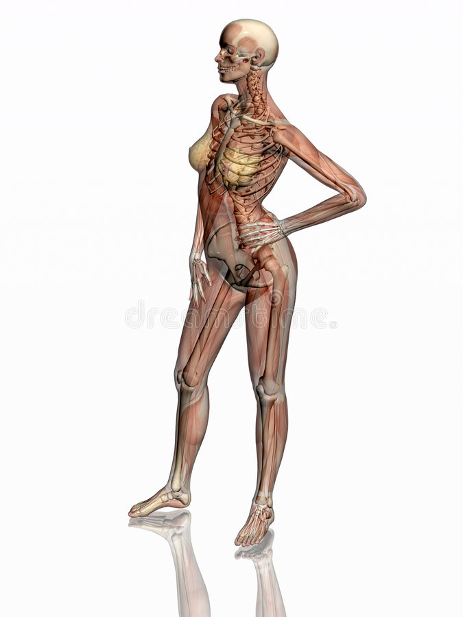 Anatomie, transparant spieren met skelet. royalty-vrije illustratie