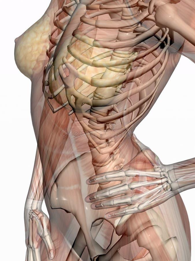 Anatomie, transparant spieren met skelet. stock illustratie