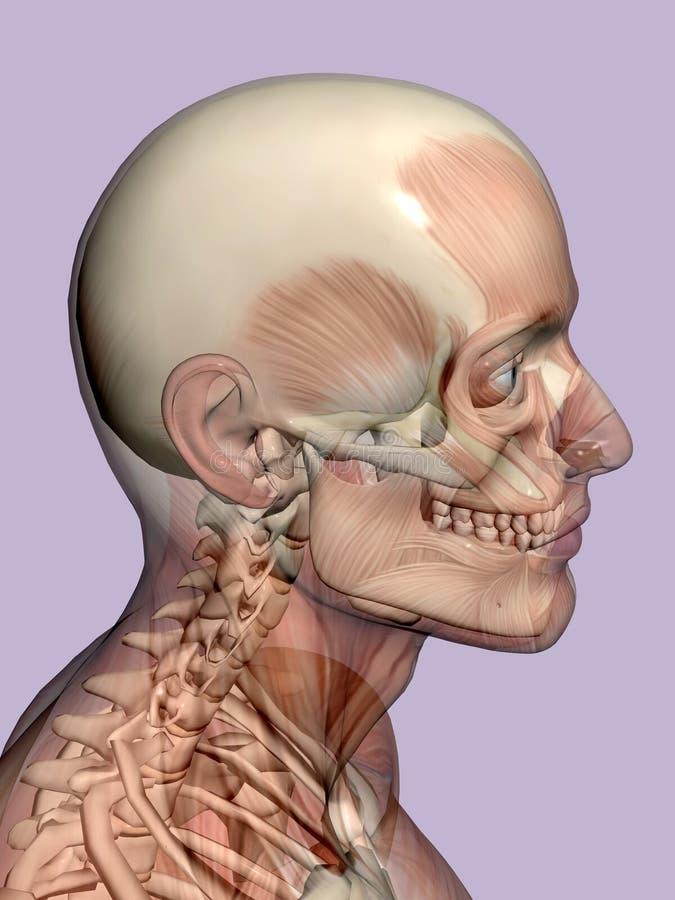 Anatomie une tête, transparant avec le squelette. illustration stock