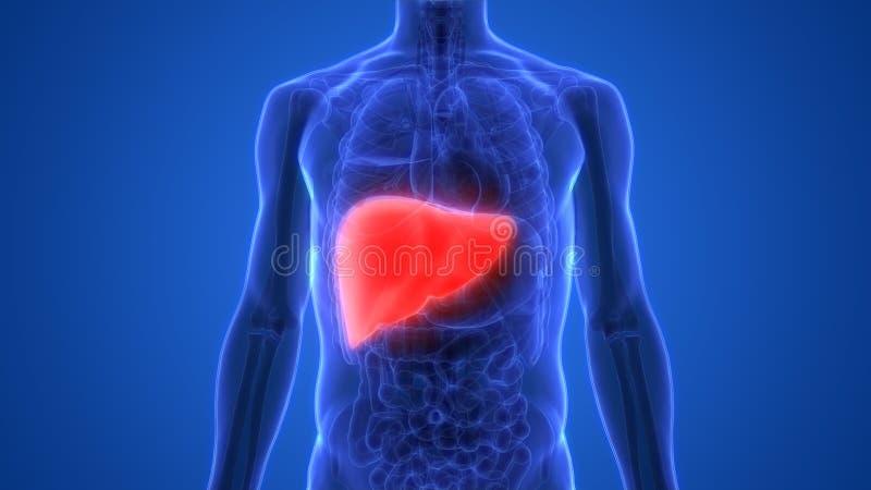 Anatomie van de het systeemlever van menselijk Lichaamsorganen de Spijsverterings vector illustratie