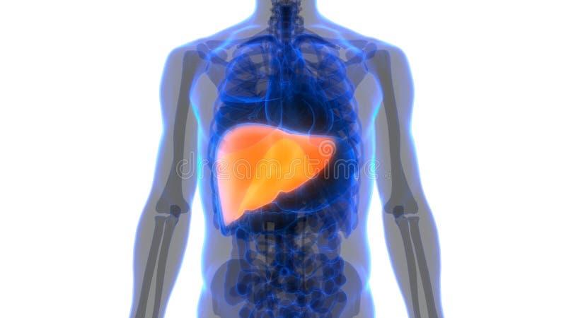Anatomie van de het systeemlever van menselijk Lichaamsorganen de Spijsverterings royalty-vrije illustratie