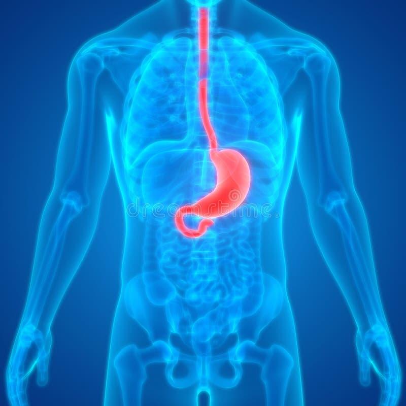 Anatomie van de het Systeemmaag van menselijk Lichaams de Interne Organen Spijsverterings royalty-vrije illustratie
