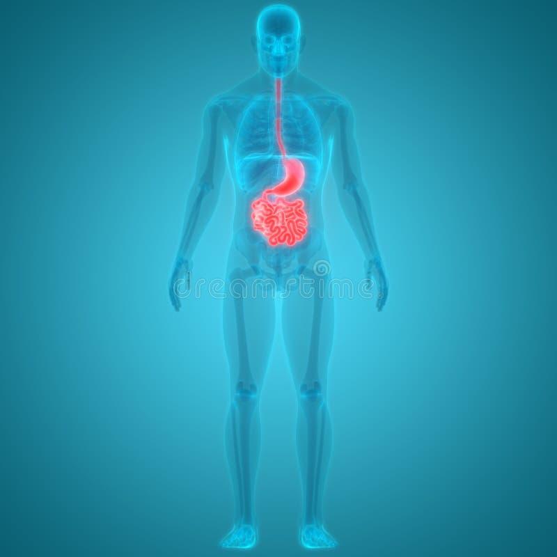 Anatomie van de het systeemmaag van menselijk Lichaamsorganen de Spijsverterings stock illustratie