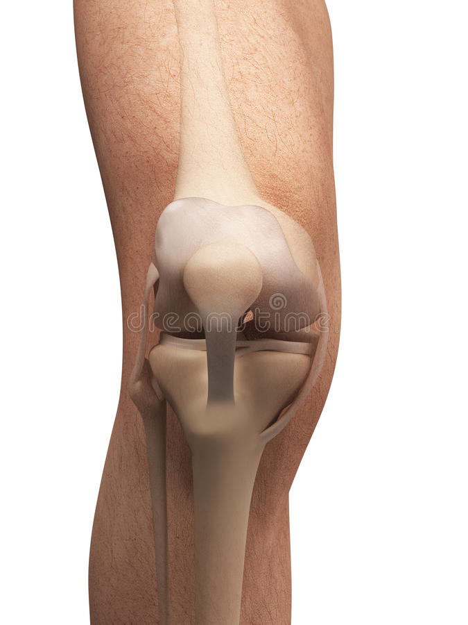 Anatomie van de knie stock illustratie